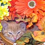 """Drowsy Kitty Cat Kitten, Flower Basket,Fall Colors"" by Chantal"