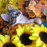 """Kitty Cat Kitten Looking Up,Lounging, Fall Flowers"" by Chantal"