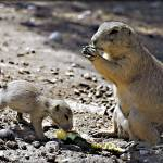 """Prairie Dog and pup_4027"" by William_Lang_Photography"