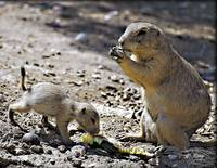 Prairie Dog and pup_4027