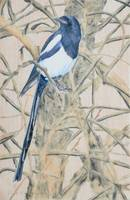 Black-billed Magpie 15x23
