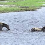 """Zebras Swimming"" by TNorth"