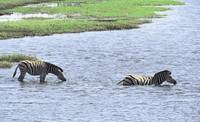 Zebras Swimming