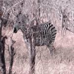 """""""Zebra Incognito"""" by TNorth"""