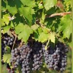 """""""In the Vineyards"""" by DSherrilldesign"""