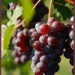 """""""In the Vineyards..."""" by DSherrilldesign"""