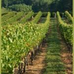 """Grove Winery Vineyards"" by DSherrilldesign"