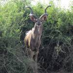"""Kudu in the Bush"" by TNorth"