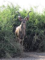 Kudu in the Bush