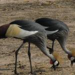 """Gray Crowned Cranes"" by TNorth"