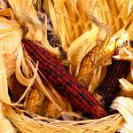 """Fall Autumn Time,Red,Yellow Decorative Corn,Stalks"" by Chantal"