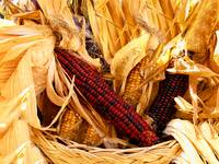 Fall Autumn Time,Red,Yellow Decorative Corn,Stalks