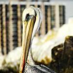 """""""Brown Pelican"""" by angelstudio54"""