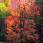 """Fall Tree on the Mountain 7698"" by TomBellEagleWing"