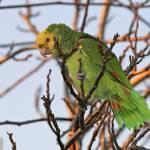 """""""Alert"""" by parrots"""