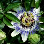"""Passionflower (sweet calabash)"" by TeaAira"