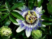 Passionflower (sweet calabash)