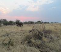 Elephant at Sundown II