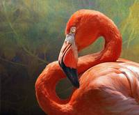 blinding beauty - greater flamingo