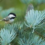 """_53F6018 Black-capped Chickidee on abies concolor"" by MichaelaSagatova"