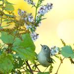 """_53F6081 Ruby-crowned Kinglet on wildflowers"" by MichaelaSagatova"