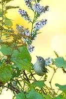 _53F6081 Ruby-crowned Kinglet on wildflowers