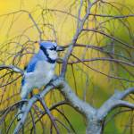 """_53F6463 Blue Jay"" by MichaelaSagatova"