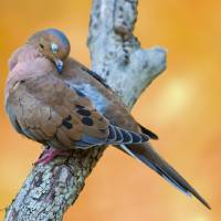 """F Mourning Dove against fall foliage"" by Michaela Sagatova"