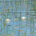 """_53F3228c Water lilies"" by MichaelaSagatova"