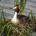 """Great Crested Grebe on nest"" by davejw"