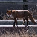 """Fox walking along pipeline"" by davejw"