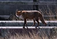 Fox walking along pipeline