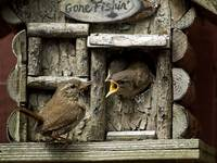Wren feeding young