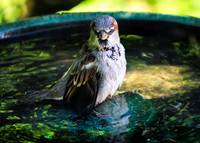 Mr. House Sparrow in the Bird Bath.