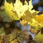 """""""Gold Leaves"""" by stilljustabill"""