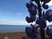 Lupins by the shore