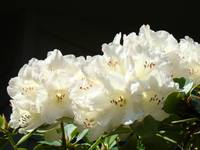 White Glowing Sunlit Rhododendrons Flowers