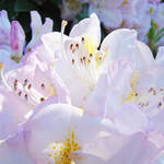 """Pastel Pink White Rhodies Floral Flowers art"" by BasleeTroutman"