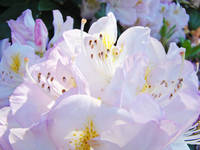 Pastel Pink White Rhodies Floral Flowers art