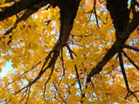 Yellow Fall Art prints Autumn Trees Botanical