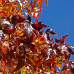"""Red Leaves Autumn Tree art prints Blue Sky Nature"" by BasleeTroutman"