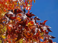 Red Leaves Autumn Tree art prints Blue Sky Nature