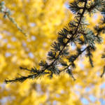 """Conifer Pine Tree art prints Yellow Fall Leaves"" by BasleeTroutman"