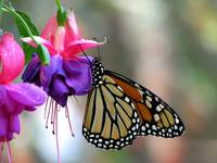 monarch on fuschia