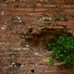 """Roman Wall Plant"" by raetucker"