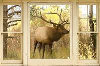 Bull Elk Window View