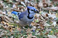 Blue jay with corn