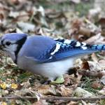 """Blue jay with mouth full of corn"" by cameragal"