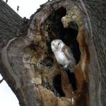"""wild Barn Owl in a tree hollow"" by davejw"