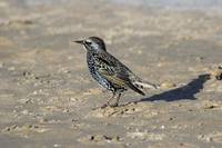 Starling on the beach